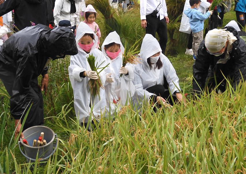 六本木ヒルズで富山県産新ブランド米「富富富」の稲刈りイベント